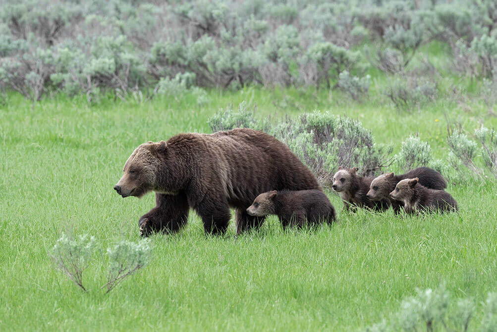 Grizzly Bear 399 and her cubs, Grand Teton National Park
