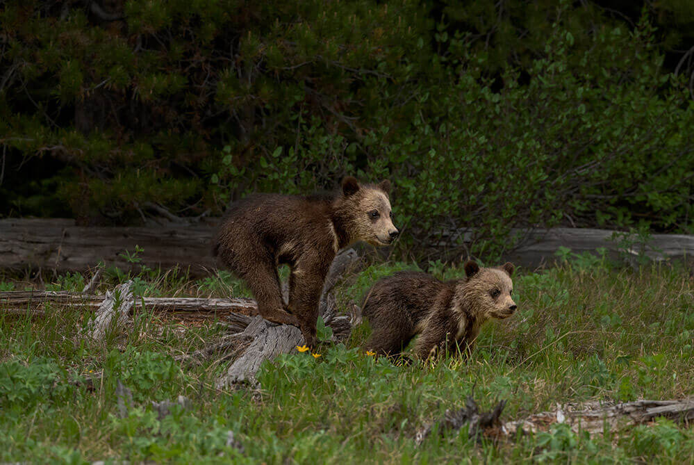 Baby Grizzlies, Grand Teton National Park