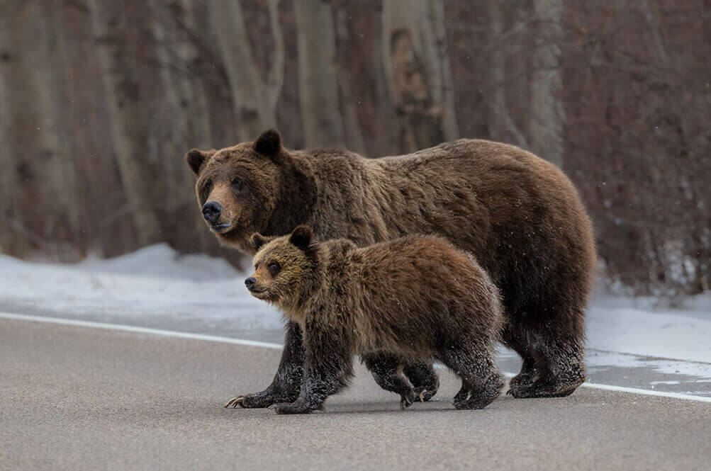 Cubs of Grizzly Bear 399, Grand Teton National Park
